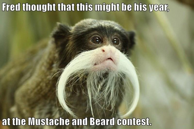 animals mustache beard tamarin monkey funny animals - 8589261568