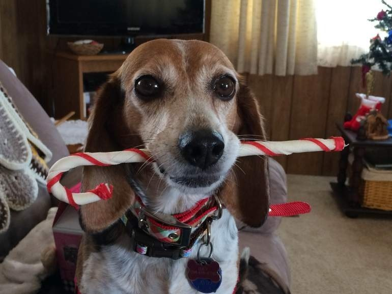 Dog with candy cane