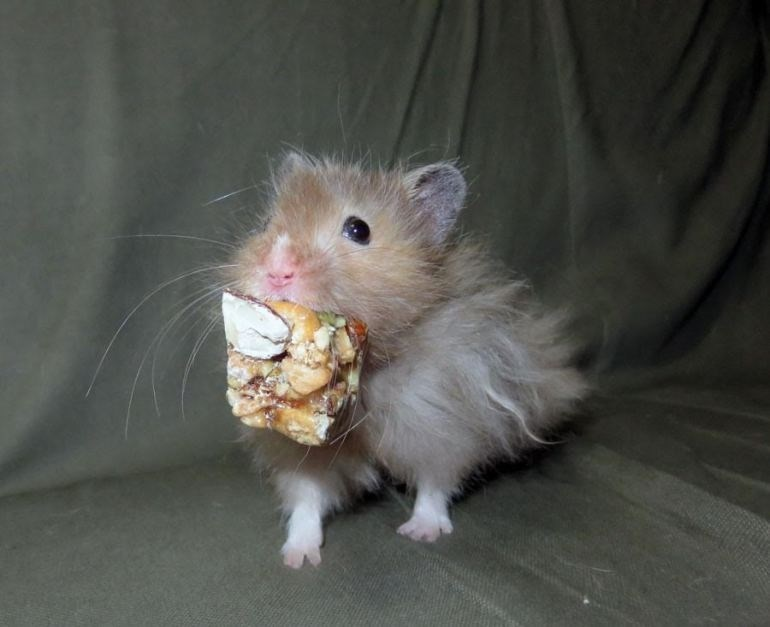 Mouse with mouth full of granola bar