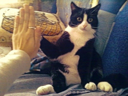 Cat giving high five