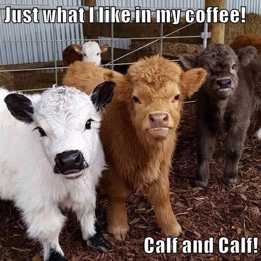 calf,puns,coffee,funny,animals