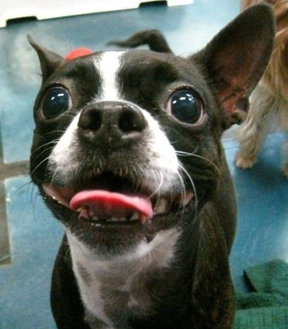 Cute Photo of Boston Terrier