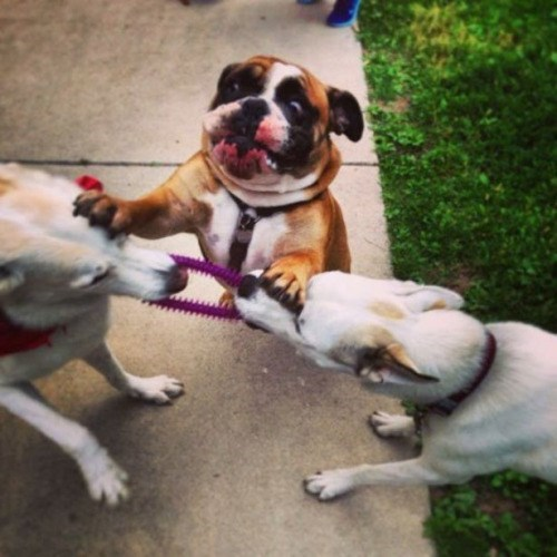 Photo of Bulldog Breaking Up Tug of War Between Two Other Dogs
