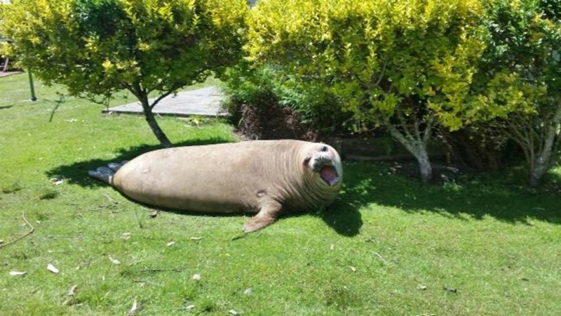 A Sassy Elephant Seal Enjoys Her Day in the Sun, While Destroying Everything in Her Path