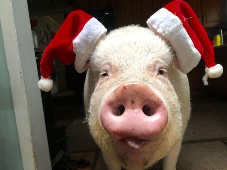 photo of pig with santa hats