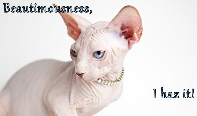blue eyes,beauty,caption,Cats,hairless,true facts