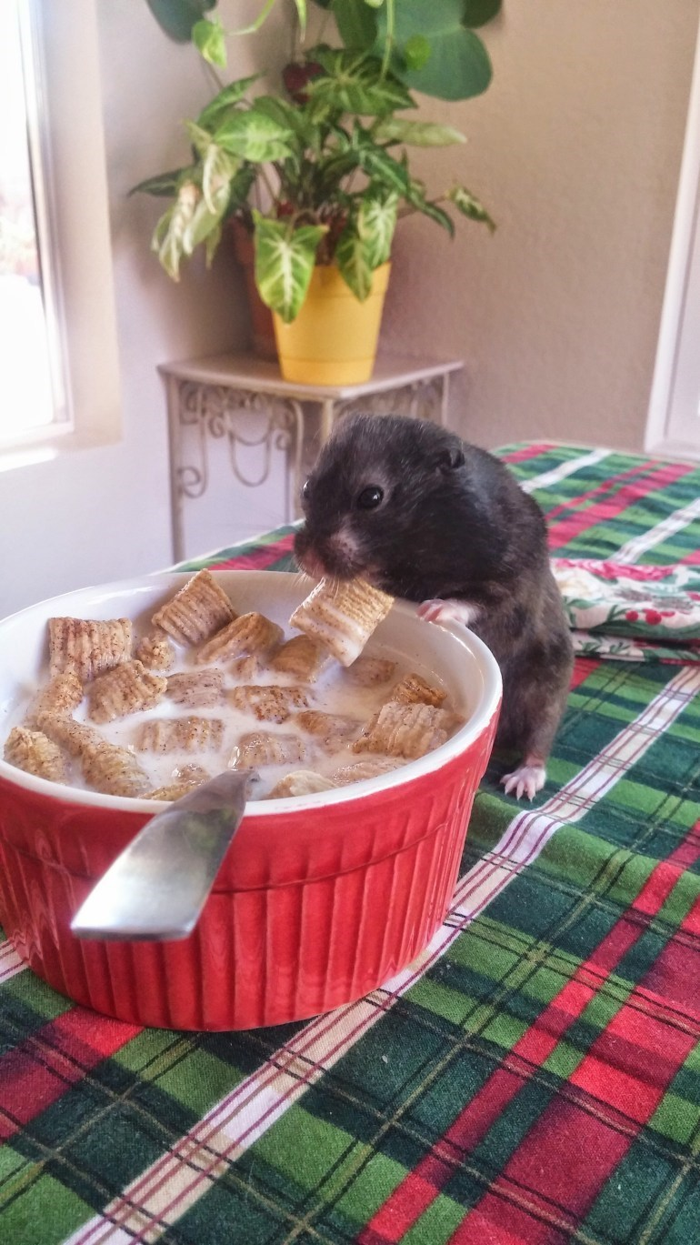 Photo of a hamster eating cereal