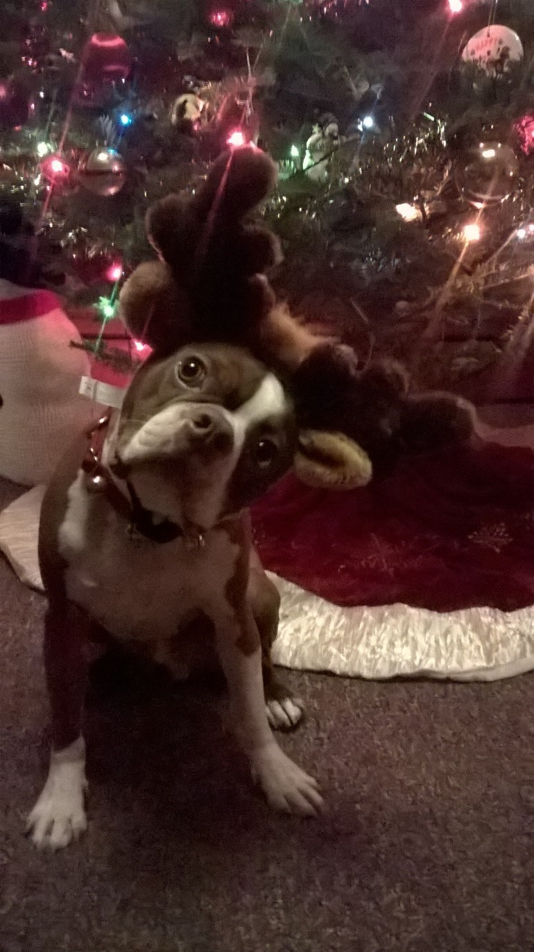 photo of dog wearing antlers at christmas