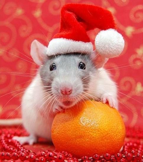 Rat wearing santa hat