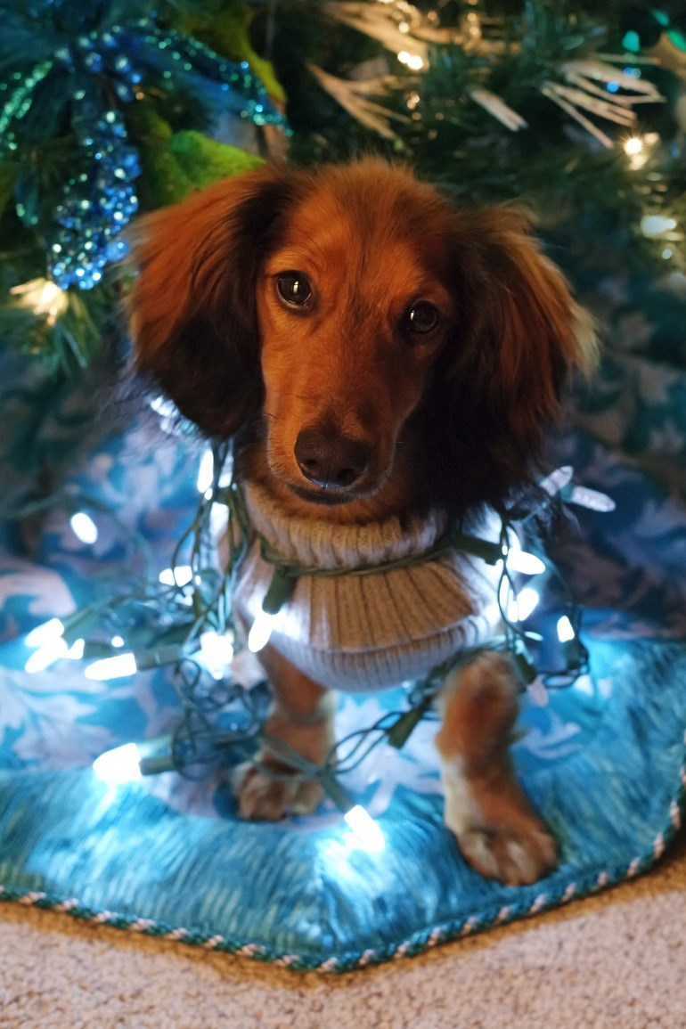 photo of cute daschund under christmas tree