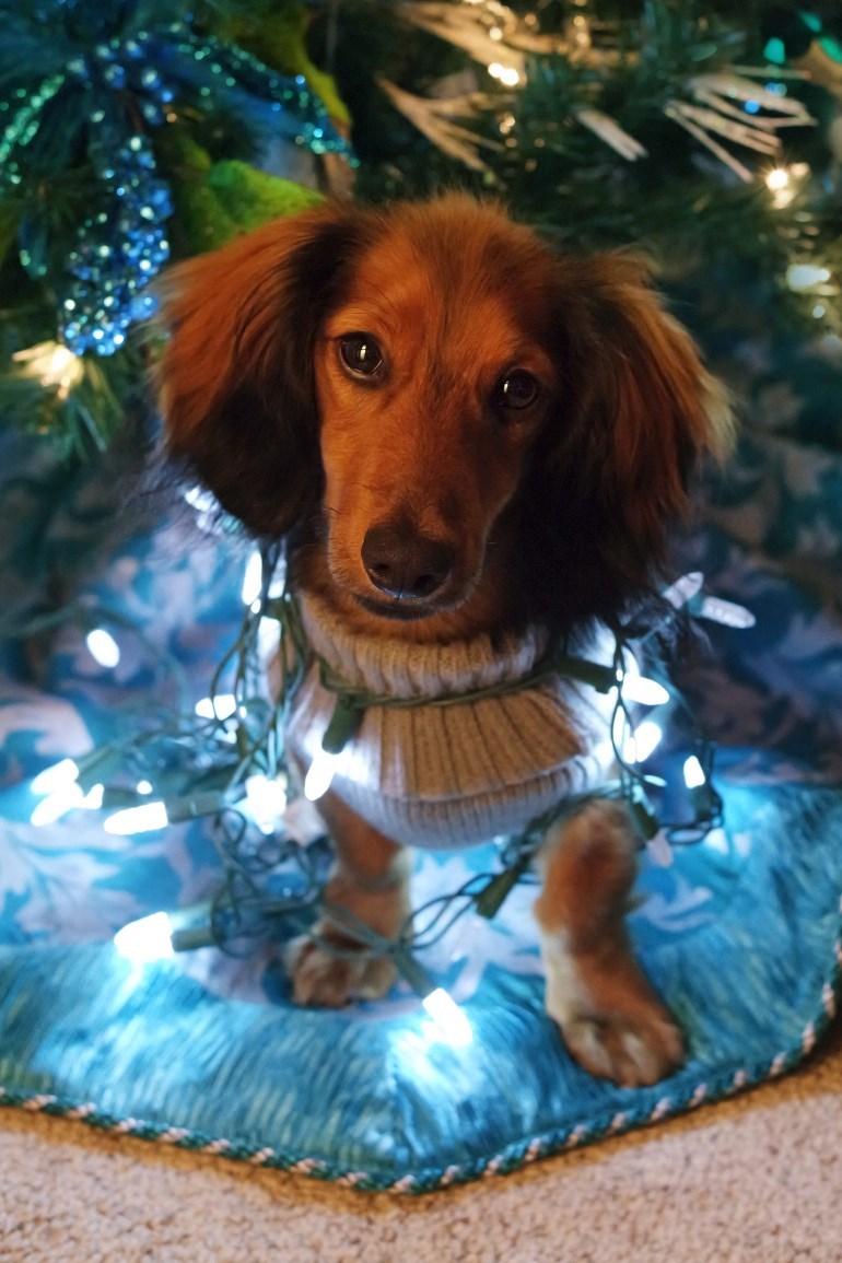 photo of cute daschund under christmas tree