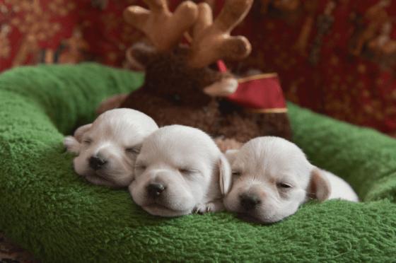 photo of cute puppies asleep in christmas wreath