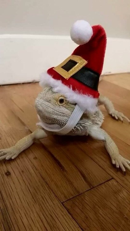 photo of lizard with santa hat