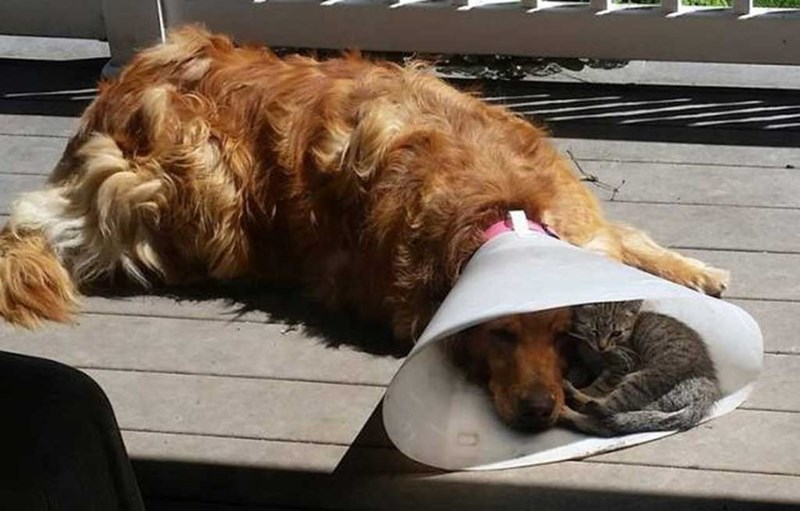 cute photo of dog with cone laying with kitten