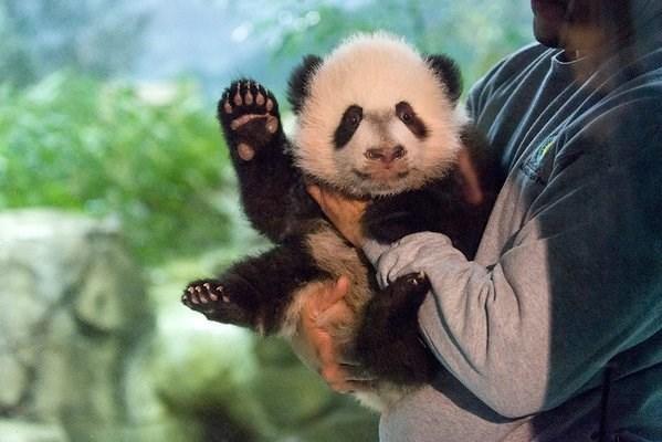 panda cute video Bei Bei, the Adorable Giant Panda Cub Just Made His Media Debut