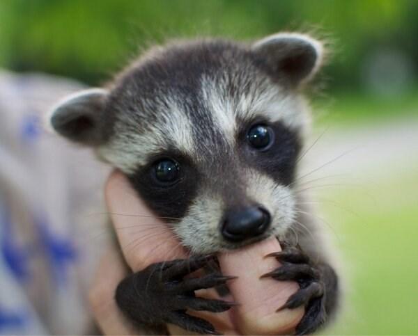 baby raccoon - 8596082944