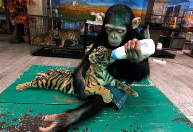 tiger monkey - 8596088064
