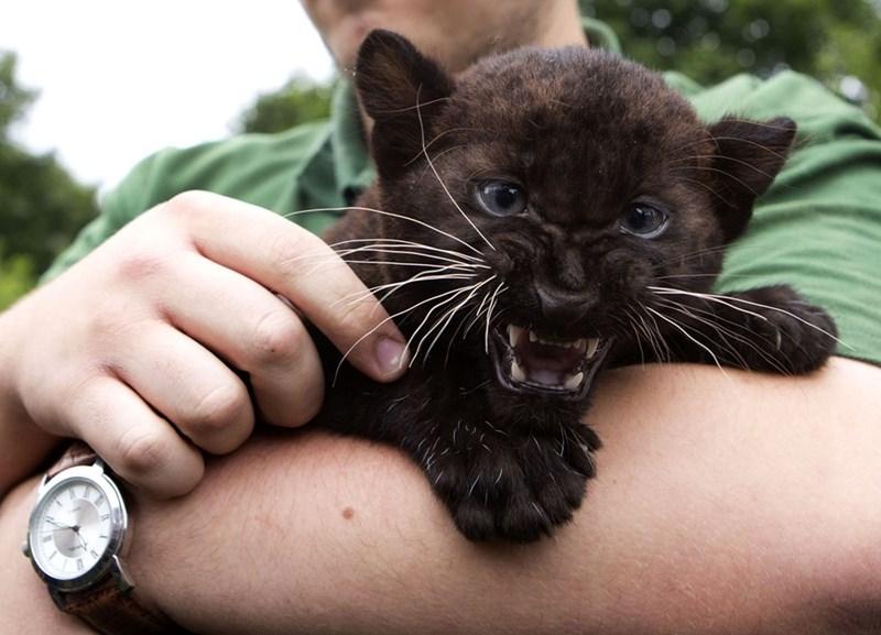 cat baby wild - 8596088320