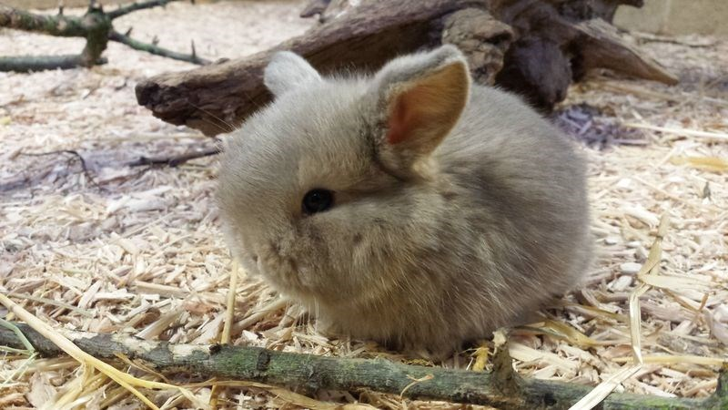 photo of very cute mini lop rabbit