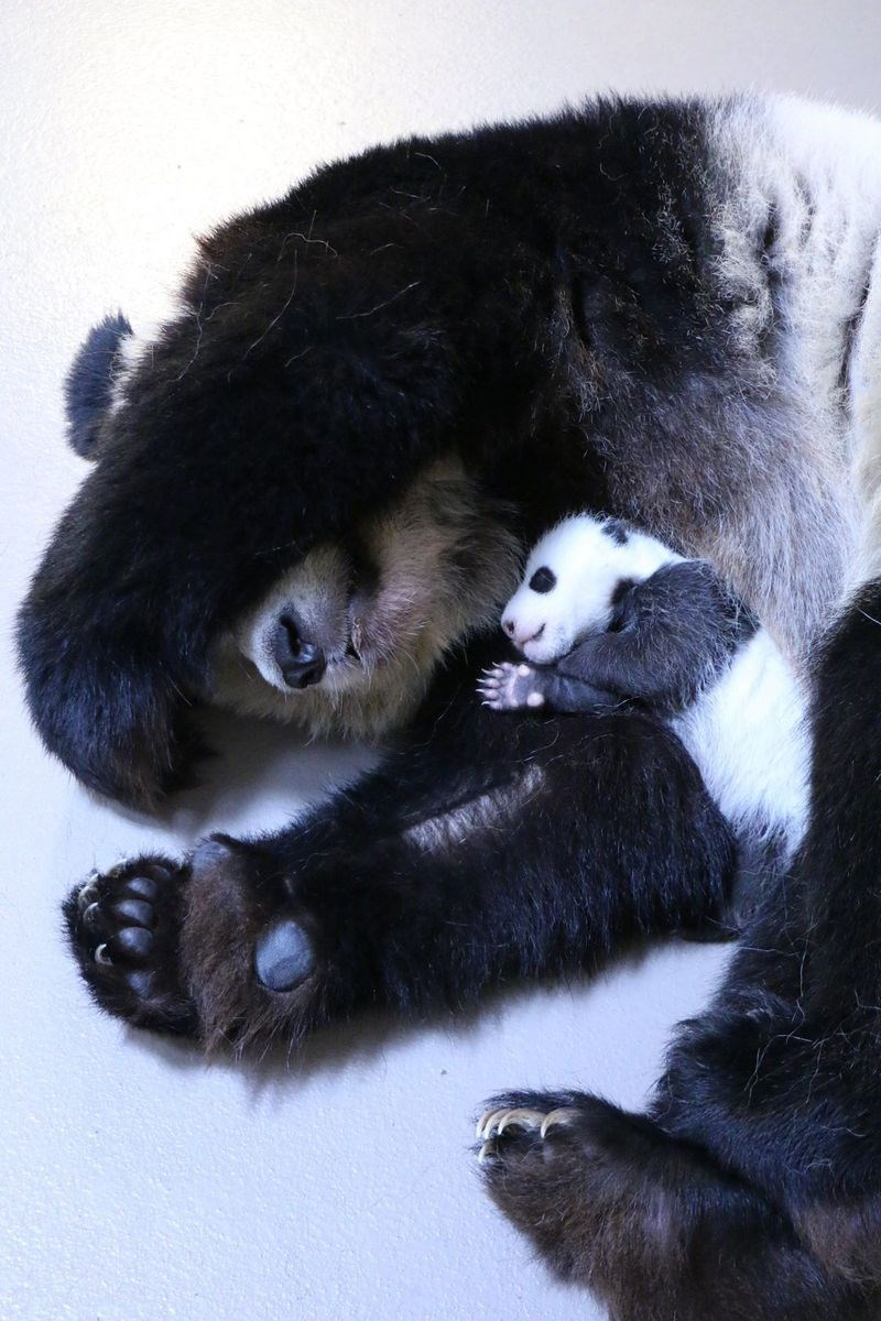 photo of baby panda taking a nap with mama bear