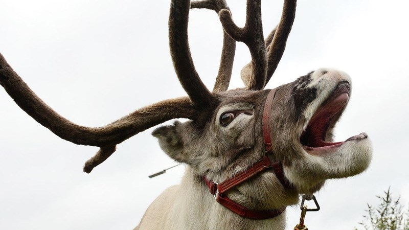 news-crazy-runaway-reindeer-nottingham