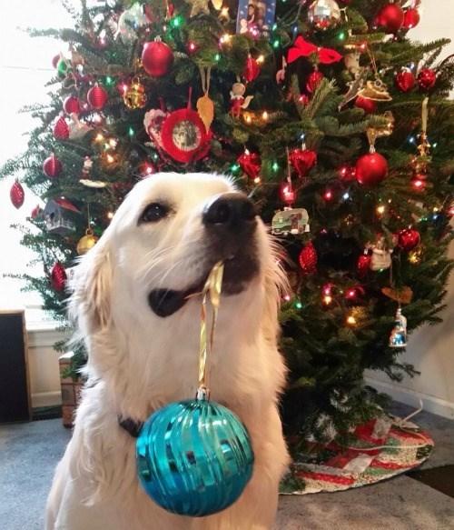 photo of dog helping hang ornaments on christmas tree