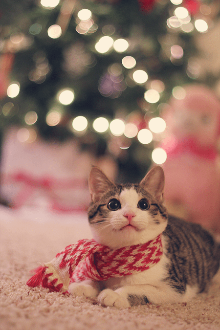 photo of cute cat in front of christmas tree