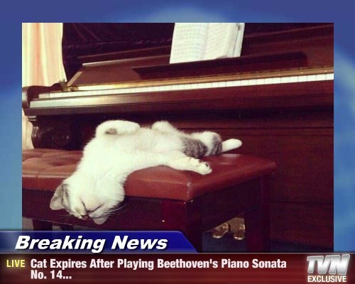 piano caption Cats funny exhausted - 8598268672
