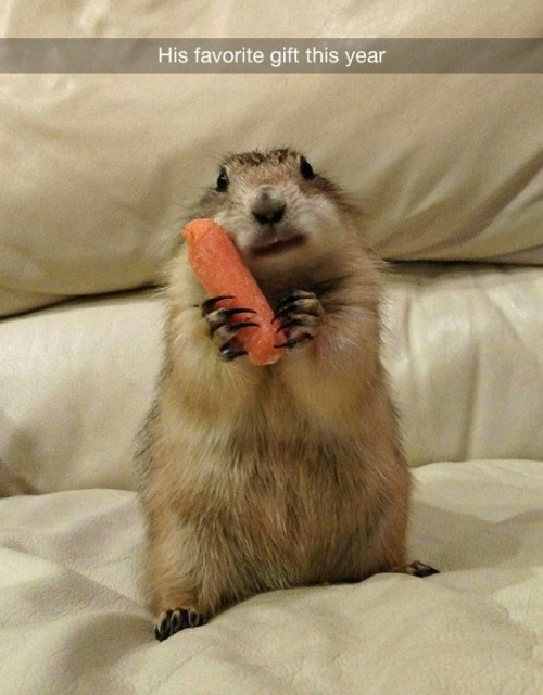 tumblr post of prairie dog with carrot