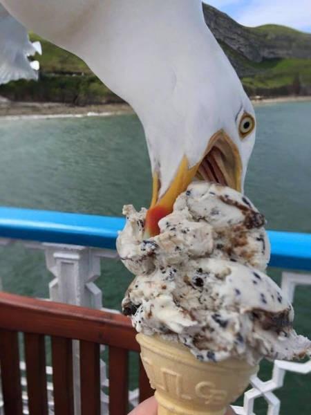 funny animal image seagull steals icecream