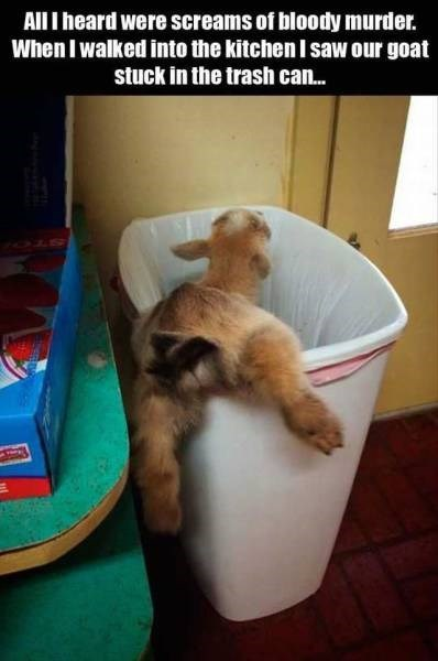 funny animal image goat stuck in trash can