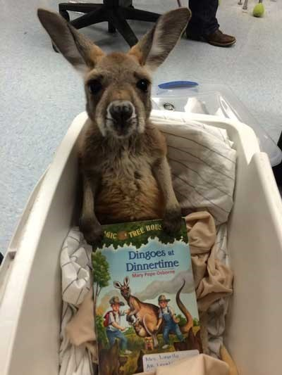 cute animal image of kangaroo with a book