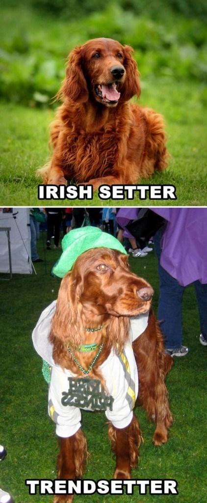 Dog - IRISH SETTER TRENDSETTER
