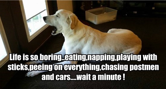 Life is so boring..eating,napping,playing with sticks,peeing on everything,chasing postmen and cars....wait a minute !