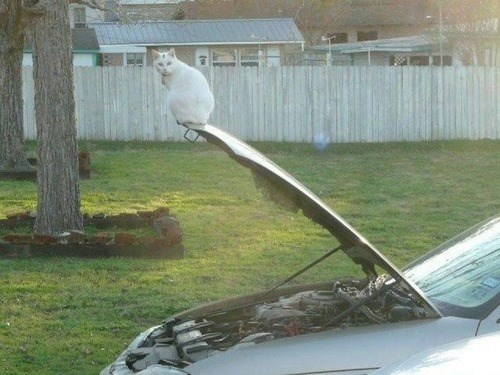 funny animal image of cat on open car hood