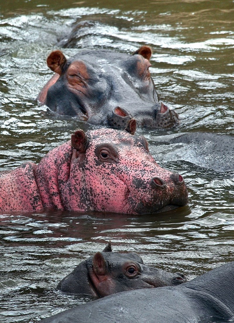 news-win-animal-pink-hippo-spotted-kenya