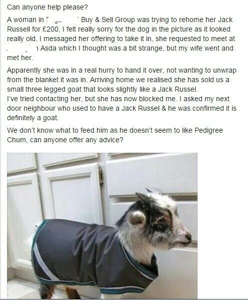 funny animal image where goat is mistaken for jack russell terrier