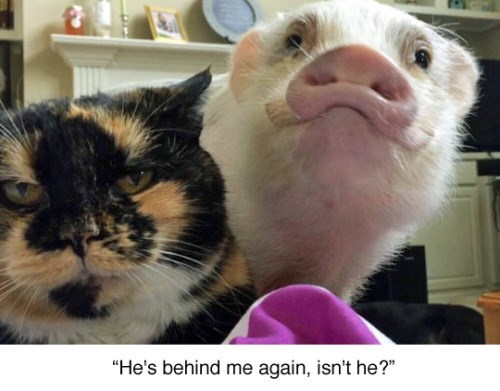 funny animal image of cat with pig photobomb