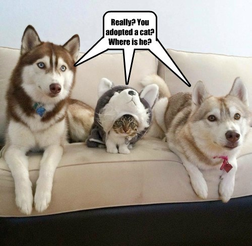 disguise,cat,dogs,husky