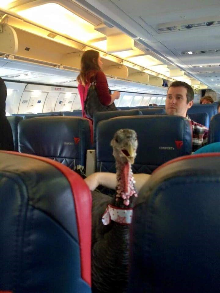 funny animal image turkey flies on airline as therapy pet