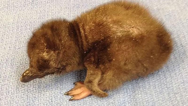 news-baby-penguin-named-bowie-cincinnati-zoo
