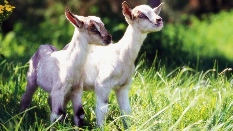news-baby-goats-cuddling-dream-job-on-farm
