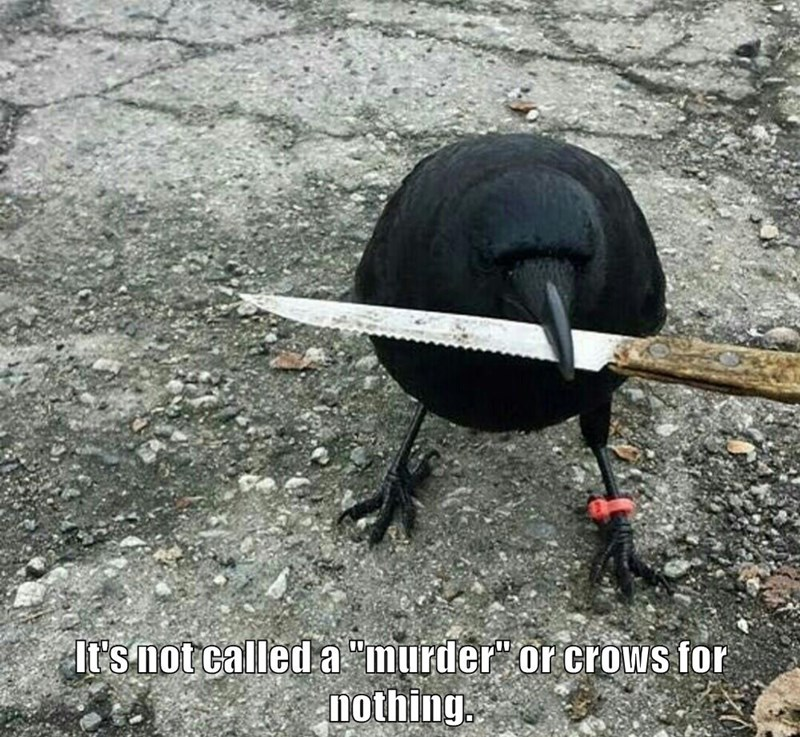 "It's not called a ""murder"" of crows for nothing."
