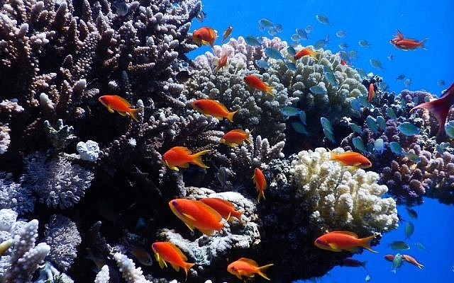 coral reefs Israel red sea