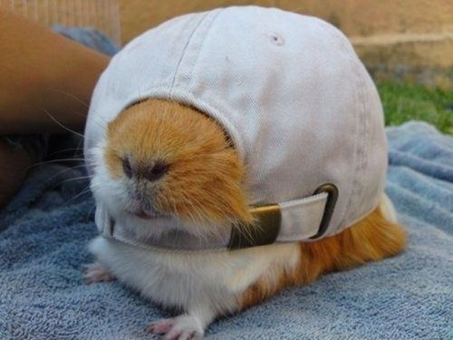 funny animal image of guinea pig in a hat