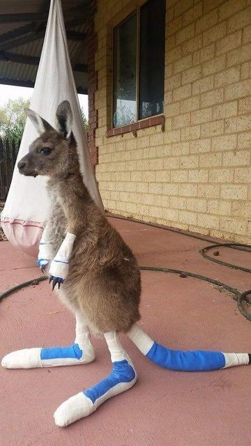 kangaroo rescue cute The Cutest, Saddest Baby Kangaroo is Still Going Strong After Severe Burns From a Wildfire