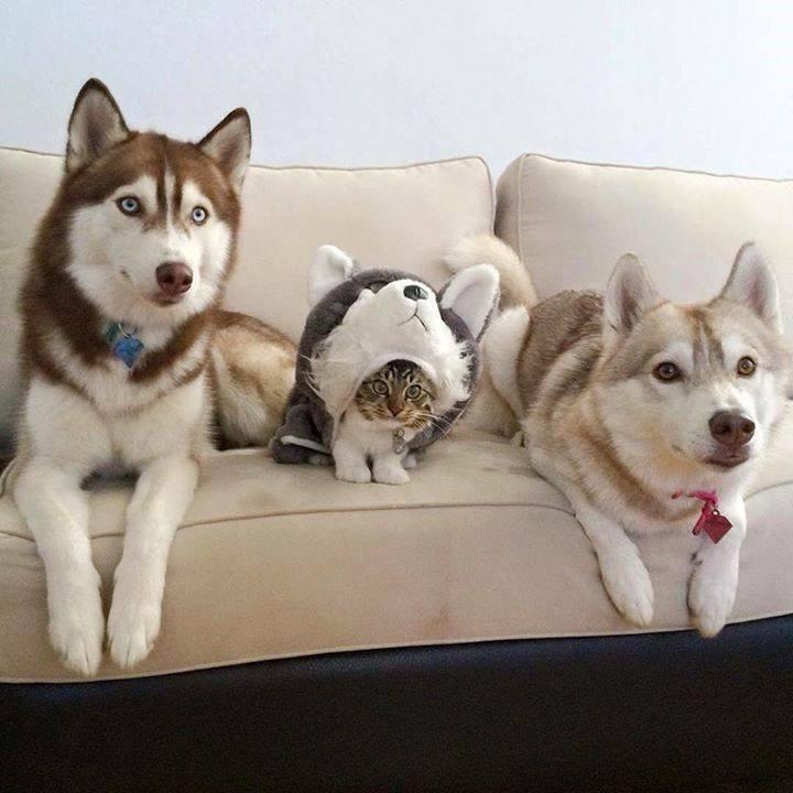 12,cat,caption,dogs,day,husky,think,still