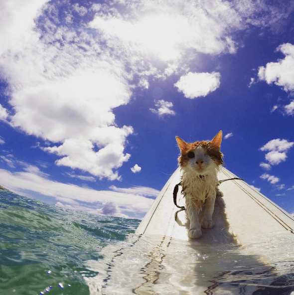cool cat,surf,Hawaii,surfing,Cats