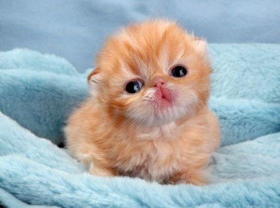 tiny ginger kitten sitting on a blue blanket