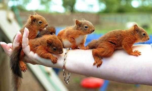 animal photo of red little squirrels on a person's arm